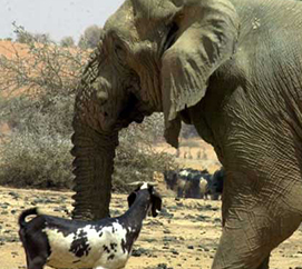 The Desert Elephants of Mali